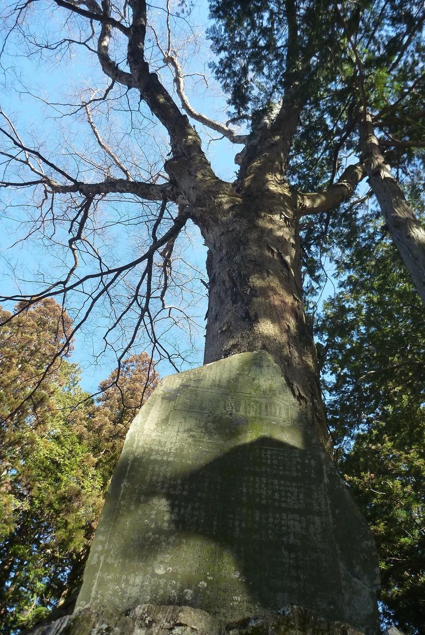 熱田神社 - 御神木の大ケヤキ