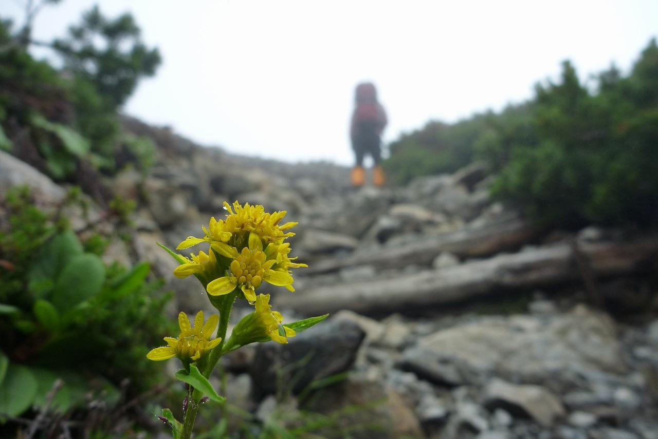 仙丈ヶ岳 - 山頂直下のお花