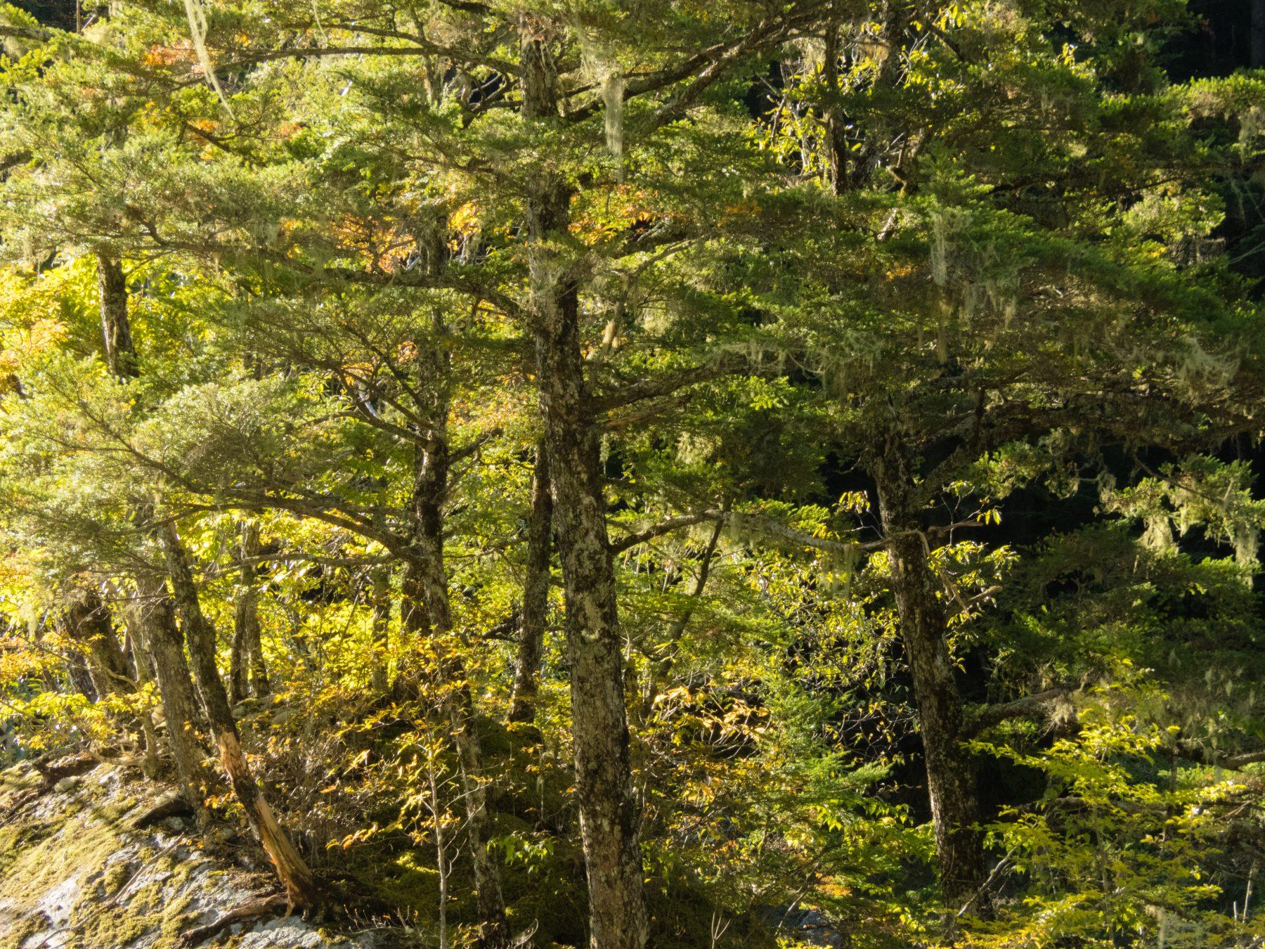 鎧岩 - 岩に生えるツガの木々